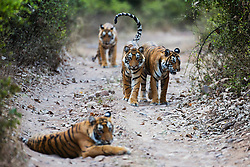 Four Bengal tigers in the wild (Panthera tigris tigris) waking up and starting to walk down a pathway ,Ranthambhore National Park, Rajasthan, India,
