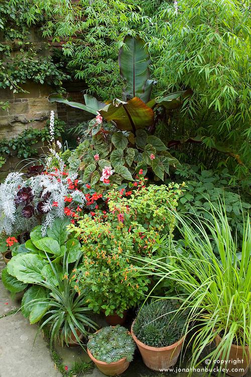 Summer pot display at Great Dixter with begonias, dykia,  Aeonium 'Zwartkop' syn. 'Schwarzkopf' and Ensete