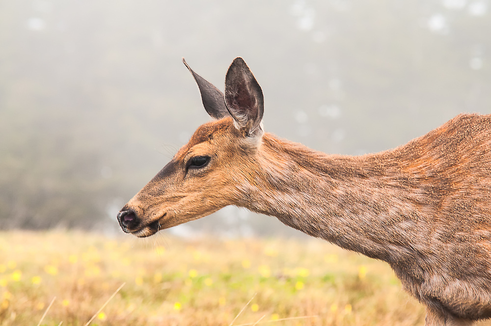 A bold female Columbian black-tailed deer feeds on the wild grasses growing along Hurricane Ridge in Washington's Olympic Mountains. This subspecies of the mule deer (Odocoileus hemionus columbianus) is found only in the coastal temperate rainforests and mountains of the Pacific Northwest from Northern California to Washington.