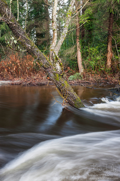 During a flood, North Creek flows around a tree that's partially submerged by the high water in Bothell, Washington.