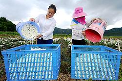 July 27, 2018 - Longli, Longli, China - Longli, CHINA-Peasants are busy with picking chrysanthemum flowers in Longli, southwest China's Guizhou Province. (Credit Image: © SIPA Asia via ZUMA Wire)