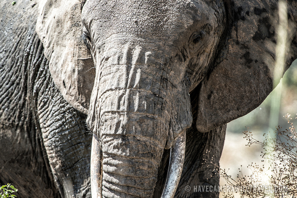 Front-on view of an adult elephant at Tarangire National Park in northern Tanzania not far from Ngorongoro Crater and the Serengeti.