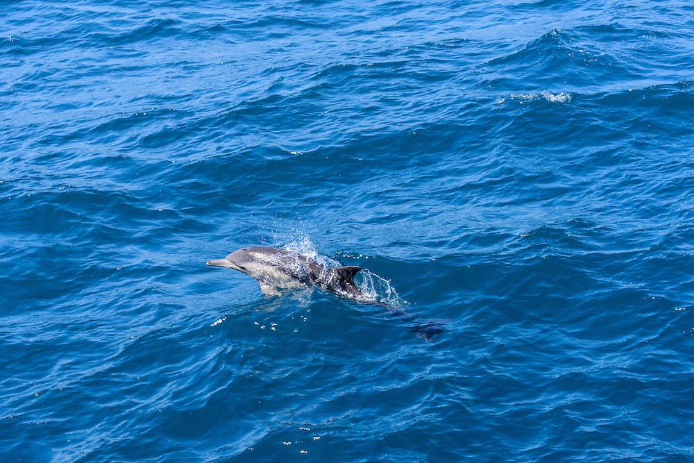 Dolphin, Pacific Ocean,  Ventura, California