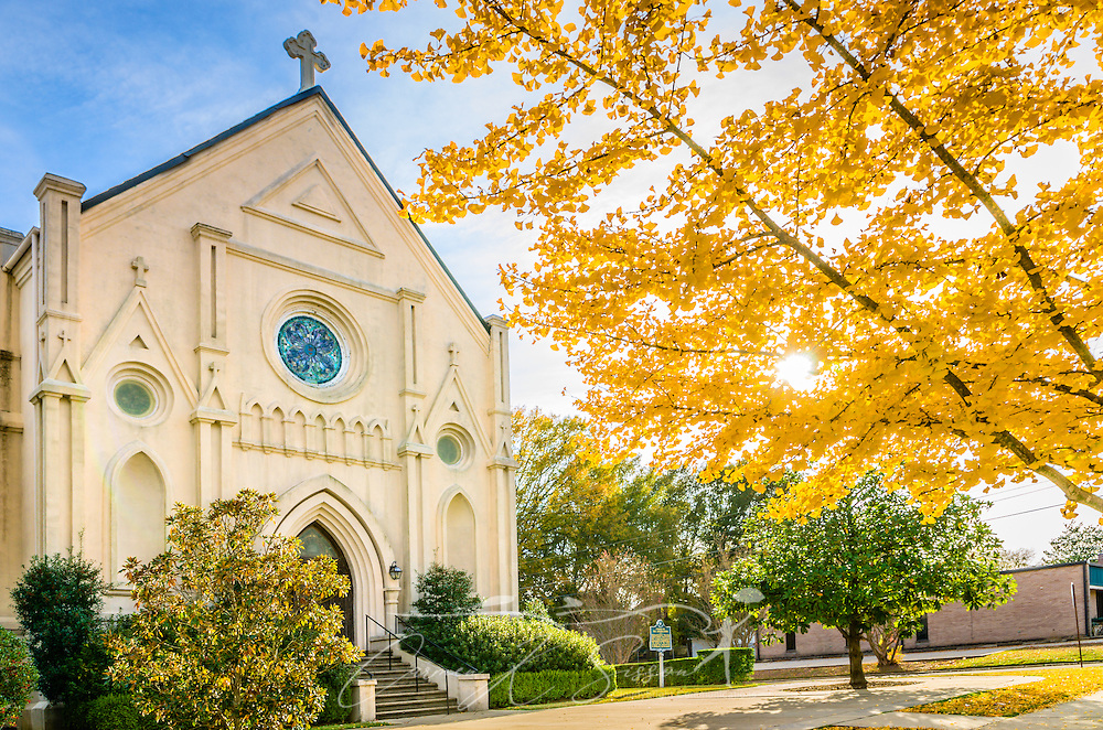 A ginkgo biloba tree displays a canopy of yellow leaves in front of Annunciation Catholic Church, November 13, 2011, in Columbus, Mississippi. The ginkgo, also known as the maidenhair tree, is a native of China. Its colorful autumn leaves typically last from one day to two weeks. (Photo by Carmen K. Sisson/Cloudybright)