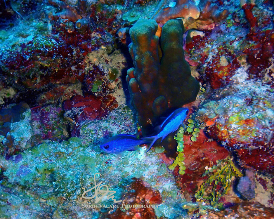 Colourful Chromis abound in the shallow reefs of the Yucatan Peninsula.