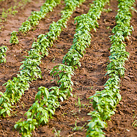 Rows of young Genovese basil plants.