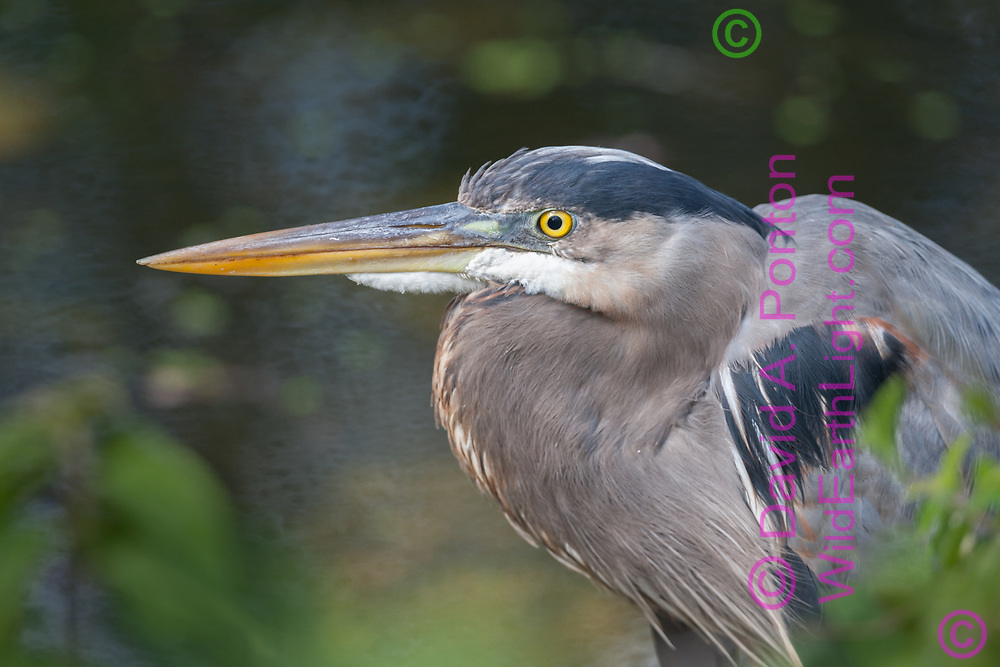 Great blue heron portrait, neck folded, long beak for striking fish. Big Cypress National Preserve, Florida, © 2007 David A. Ponton
