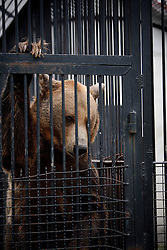 ROMANIA ONESTI 28OCT12 - A Eurasian brown bear pokes his nose through the rusty bars of its cage at the Onesti zoo.....The zoo has been shut down due to non-adherence with EU regulations on the welfare of animals...The bear was rescued from the decrepit Onesti Zoo where it lived for 8 years in degrading conditions.......jre/Photo by Jiri Rezac / WSPA......© Jiri Rezac 2012