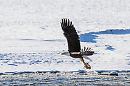 Bald Eagle (Haliaeetus leucocephalus) flying with salmon carcass in the Chilkat Bald Eagle Preserve in Southeast Alaska. Winter. Afternoon.
