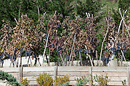 Rionero in V. (PZ) Ottobre 2010 - Vitigni di Aglianico del Vulture doc nella zona del Vulture. Nella Foto: Vigneti della Cantina Terra dei Re a Rionero in V.