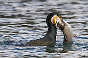 Great Cormorant fishing and eating a fresh trout.