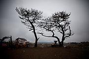 Ishinomaki  Quartier Minami Hamacho  Matsu et sanctuaire shintoïste   mars 2012.À une centaine de mètre de la mer, les matsu, pins japonais ont résisté à la force du tsunami et aux dépôts de sel. Au pied, un autel shintoïste a été replacé.
