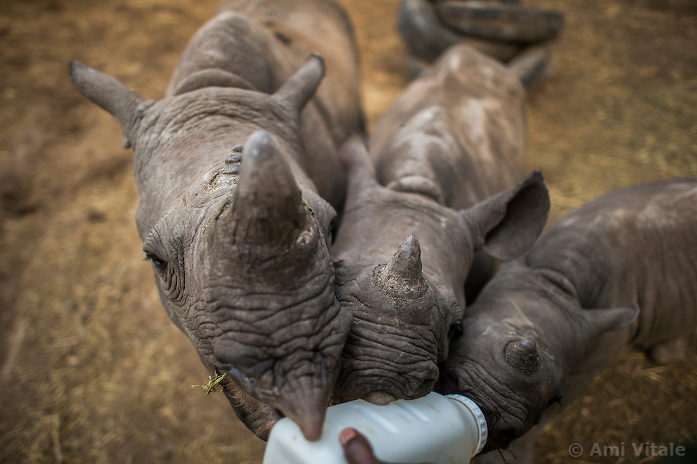 Adnan, a keeper feeds 3 orphaned baby rhinos at Lewa Wildlife Conservancy. The young rhino on the right is the newest addition and was orphaned when poachers killed his mother on Ol Pejeta Conservancy. The calf was immediately moved to Lewa and is being hand-raised.