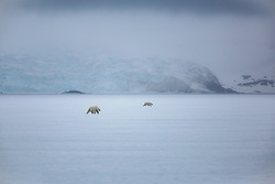 Two male polar bears (Ursus maritimus) walking across pack ice in the Arctic while keeping a distance from one another, Svalbard, Norway
