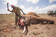 The removal of tusks from a poached elephant in Laikipia. (This man is not a poacher).