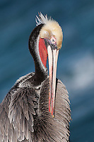 I shot this portrait of a young Brown Pelican in San Diego.  I like to photograph these younger sea birds for their red and yellow colors.
