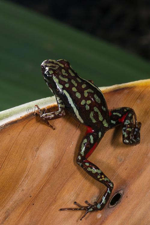 Phantasmal Poison Arrow Frog (Epipedobates tricolor)<br /> CAPTIVE<br /> Central ECUADOR. South America<br /> RANGE: Ecuador, <br /> Andean slopes of central Ecuador<br /> 1000-1,769m<br /> Epibatidine skin secretions used in medical research