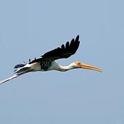 Painted Stork, Mycteria leucocephala, in flight over Petchaburi, Thailand.