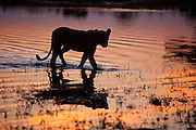 Silhouette portrait of a lioness crossing through the water of the Savuti Channel at sunset in Botswana, 2008.
