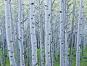 Dawn light in the Kebler Pass aspen grove