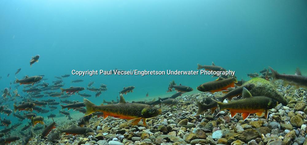 Arctic Char<br /> <br /> Paul Vecsei/Engbretson Underwater Photography