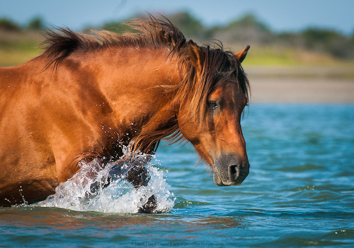 a stallion wades through chest deep water as he navigates the shoals behind Shackleford Banks