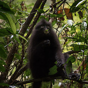 The Banded Langur, Presbytis femoralis, inhabits primary forest, mature secondary forest or swamp forest. It is active by day, particularly in the morning and late afternoon, and is arboreal . Kaeng Krachan National Park is on the the northern limit of its distribution.