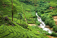 "The  Nuwara Eliya region of Sri Lanka, often called ""Hill Tea Country""  is the scene of numerous tea estates such as Pedro, St. Claire and Blue Fields who, altogether,  produce much of the premium Ceylon tea for the world market."