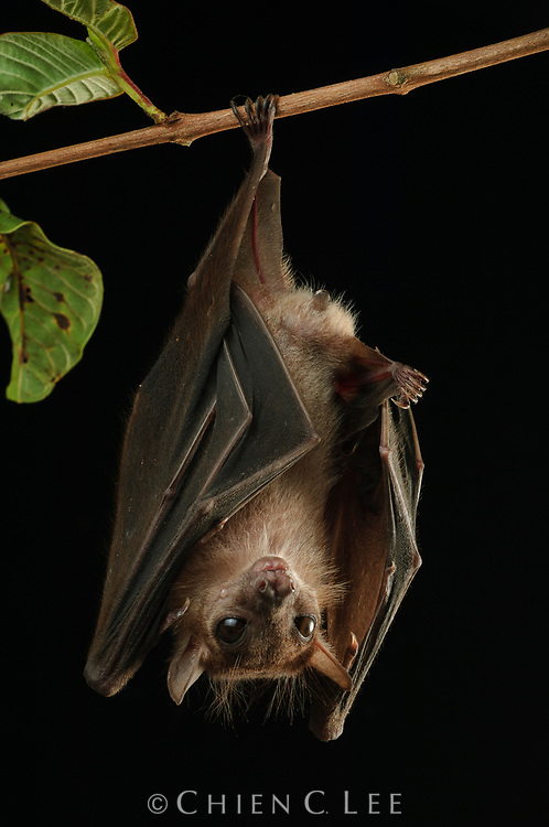 The Dusky Fruit Bat (Penthetor lucasi) roosts in large colonies in caves, though like most other fruit bats it is not capable of echolocation and relies on its keen eyesight for navigation.  It emerges at night to feed on a variety of fruits, often carrying food back to its roost to eat.  Captive.