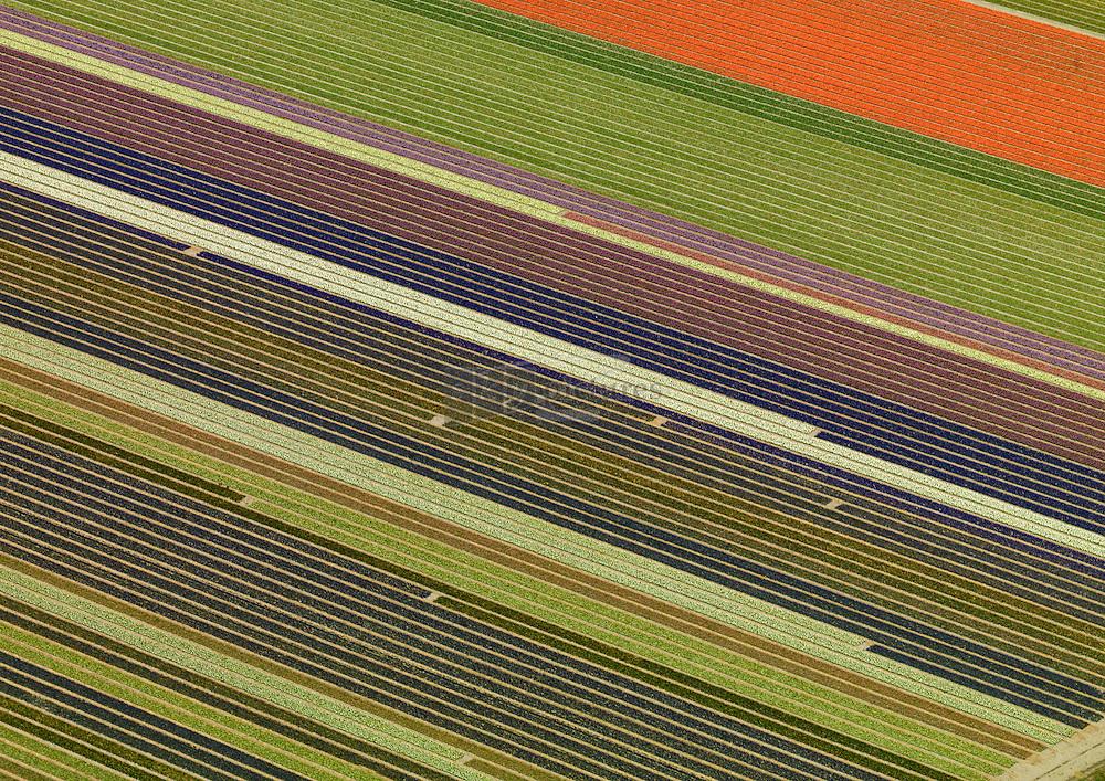 Kleurige bollenvelden in de bollenstreek tussen Hillegom, Lisse, Heemstede, Haarlem, Bennebroek en Sassenheim