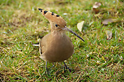 Israel, Hoopoe, (Upupa epops) Israel's national bird