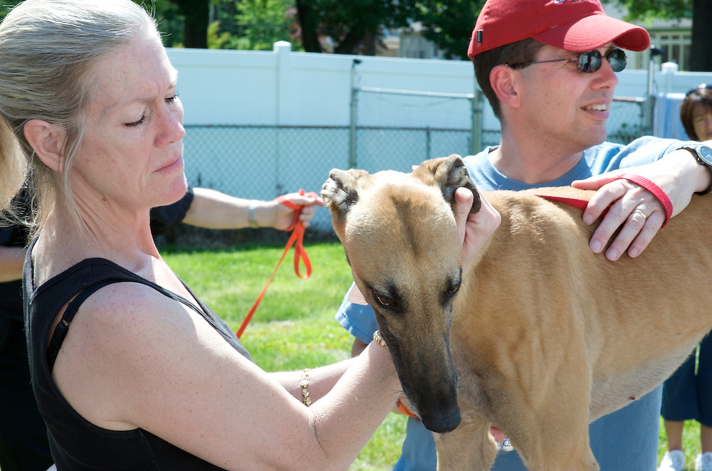 New Jersey Greyhound Adoption Program (NJGAP) volunteers steady a rescued retired racing greyhound at one of their adoption intakes.
