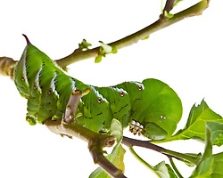 Tomato Hornworm, Manduca quinquemaculata, found in Rye, New Hampshire.