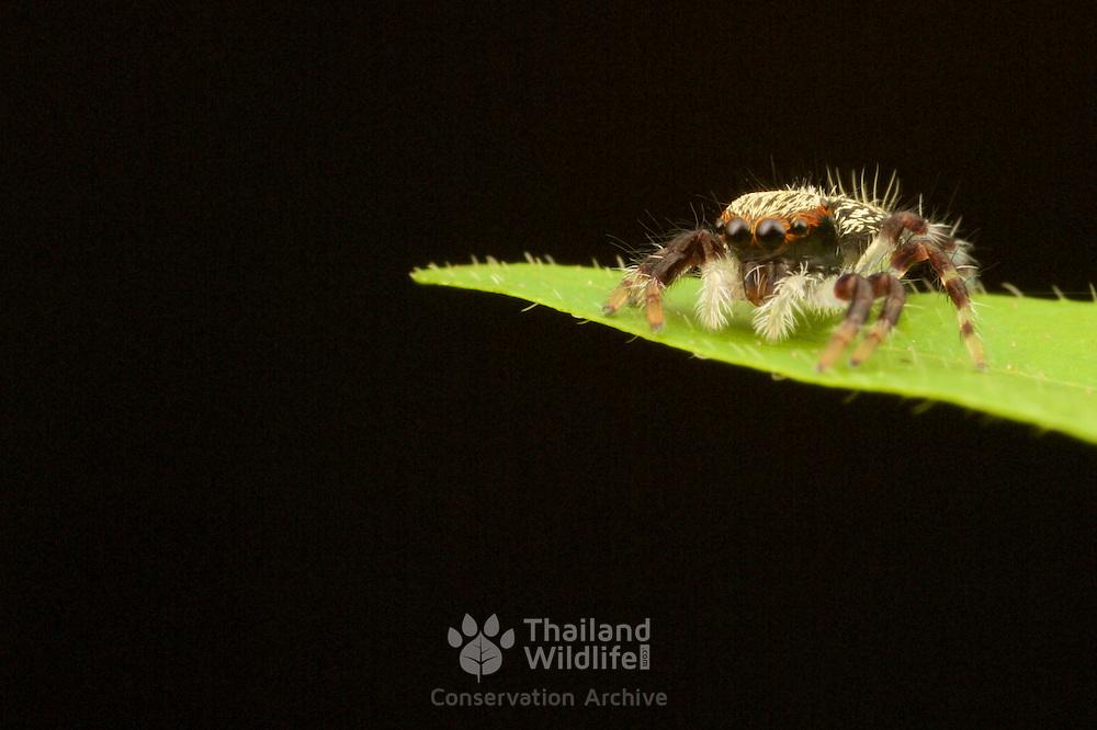 Salticidae, Jumping Spider in Kaeng Krachan National Park, Thailand.