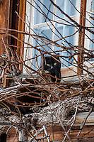 Black cat behind dried vines on a windowsill in Elm, Switzerland.