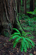 A fern grows at the base of a massive redwood tree, flourishing in the light of a rare clearing, Muir Woods National Monument