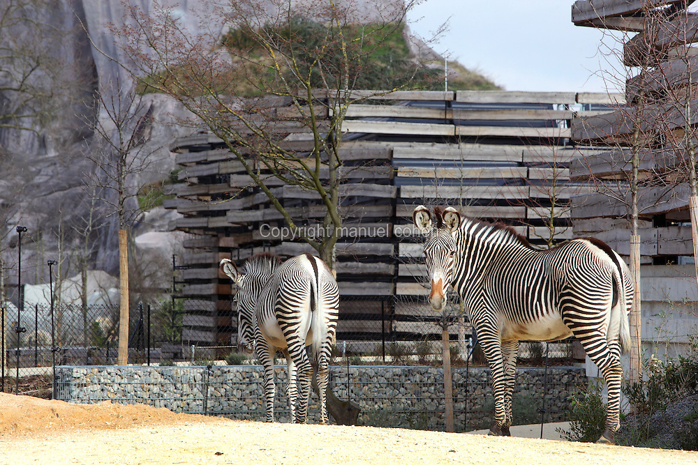 Grevy's zebra (Equus grevyi), in the Zone Sahel-Soudan of the new Parc Zoologique de Paris or Zoo de Vincennes, (Zoological Gardens of Paris or Vincennes Zoo), which reopened April 2014, part of the Musee National d'Histoire Naturelle (National Museum of Natural History), 12th arrondissement, Paris, France. Picture by Manuel Cohen