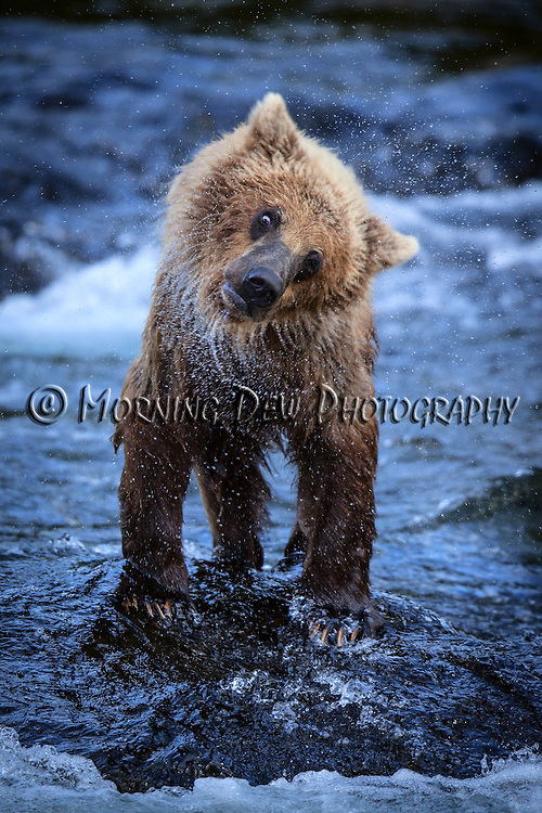 A young brown bear shakes off the water after fishing amoung the Riffles in Brooks Falls.