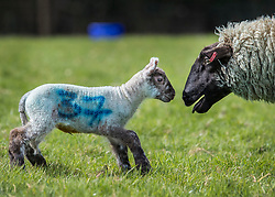 © Licensed to London News Pictures. 06/04/2018. Dorking, UK. A one day old newborn lamb looks for it's mother in the spring sunshine on the Downs at Ranmore, near Dorking in Surrey. Warm spring temperatures are being experienced in parts of the UK today. Photo credit: Peter Macdiarmid/LNP