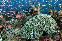 Anthias and Brain Coral<br /> <br /> Shot in Indonesia