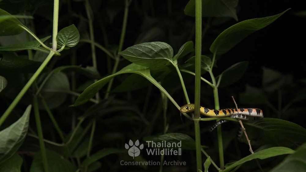Triangle Keelback (Xenochrophis trianguligerus) juvenile in situ in Krabi, Thailand