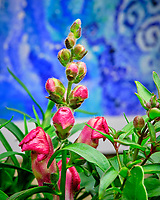 Indoor Hydroponic Snapdragon Flower. Image taken with a Fuji X-T3 camera and 80 mm f/2.8 macro lens (ISO 800, 80 mm, f/18, 1/60 sec).