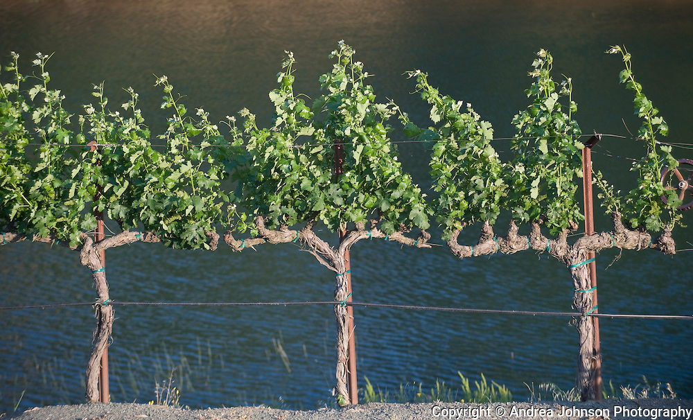 Late spring at Priest & Lynch Ranch, Sommerston Vineyards, Napa, California