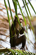 A White-headed Capuchin (Cebus capucinus) chews on a leaf and shows its opposable thumb on its foot as it stands - Osa Peninsula, Costa Rica