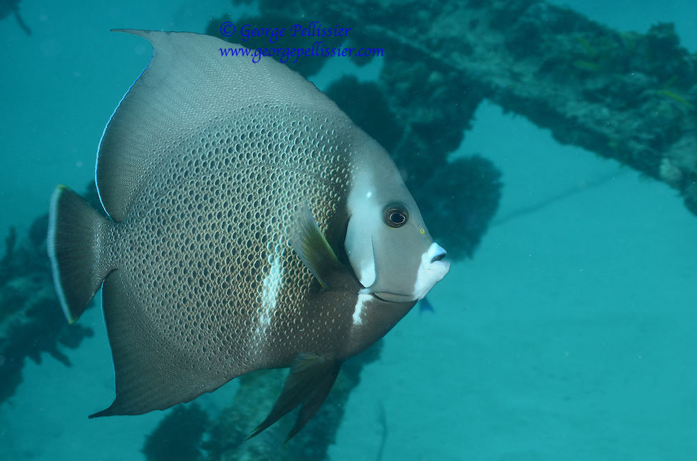 A Grey Angelfish in Miami, FL