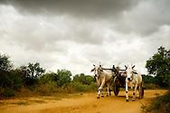 Farmer with  ox car at farm fields near Bagan