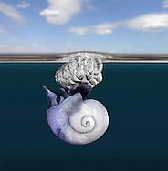 Violet Sea Snail - Janthina janthina