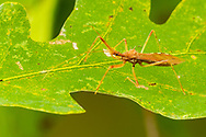 Assassin Bug (Rocconota annulicornis)<br /> United States: Alabama: Tuscaloosa Co.<br /> Tulip Tree Springs off Echola Rd.; Elrod<br /> 13-Oct-2017<br /> J.C. Abbott #3004