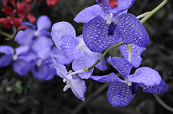 Blue Orchids growing wild