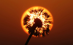 © Licensed to London News Pictures. 07/05/2018. Ditcheat, Somerset, A Dandelion Seed head framed by the rising Sun. Photo credit: Jason Bryant/LNP